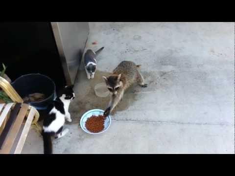 Raccoon eating cats' food (Original)