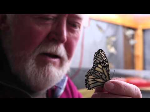 White Monarch Butterflies