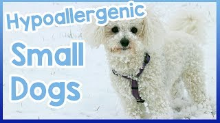 Hypoallergenic Small Dogs!