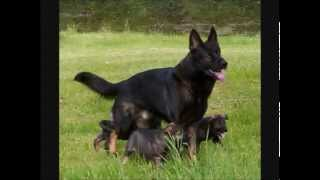 Le 30 migliori razze canine da guardia e da difesa