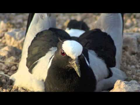Barclay James Harvest - Little Lapwing