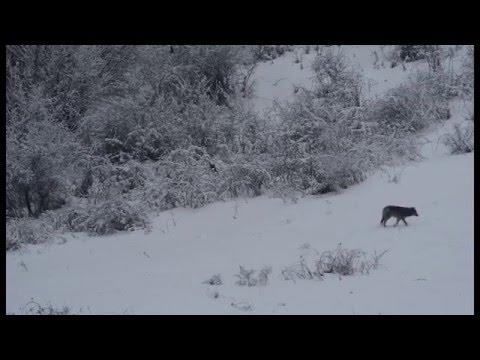 Excepcional encuentro entre un lince y un lobo en la naturaleza