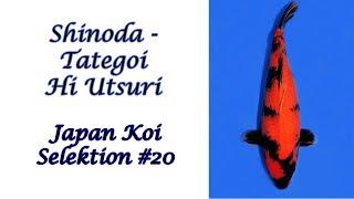 Japanreise & Shinoda Hi Utsuri Special | Japan Koi Selektion (2019) #20