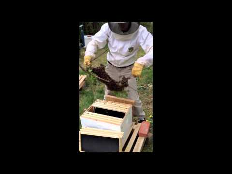 Capturing and installing a honey bee swarm in a hive box.