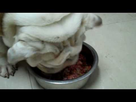 Feeding English bulldogs BARF diet - bones and raw food