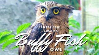 Mengenal BUFFY FISH OWL milik RKK