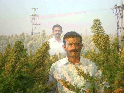 FIRST QUINOA CROP IN INDIA BY FARMER (SIVA SANKAR REDDY)ANANTAPUR,ANDHRAPRADESH,
