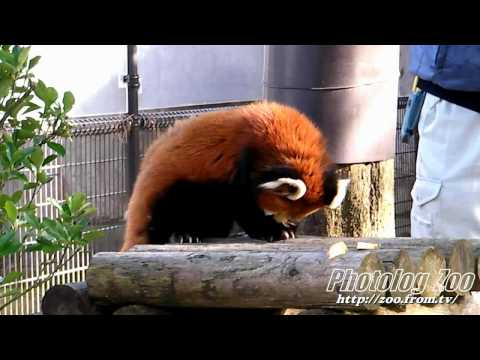Red Panda 2008 健健17歳 その3@八木山Zoo