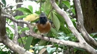 野鳥 ジョウビタキ 雄 Wild Birds Daurian Redstart Male