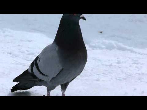 Rock Dove Walks Cooing ドバト群れの雪面歩行♪(冬の野鳥)