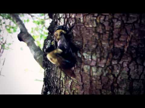 Bumblebees Mating On A Tree Doggy Style