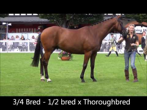 HorseMarket.ie - Traditionally-bred Irish Sport Horse EXPLAINED