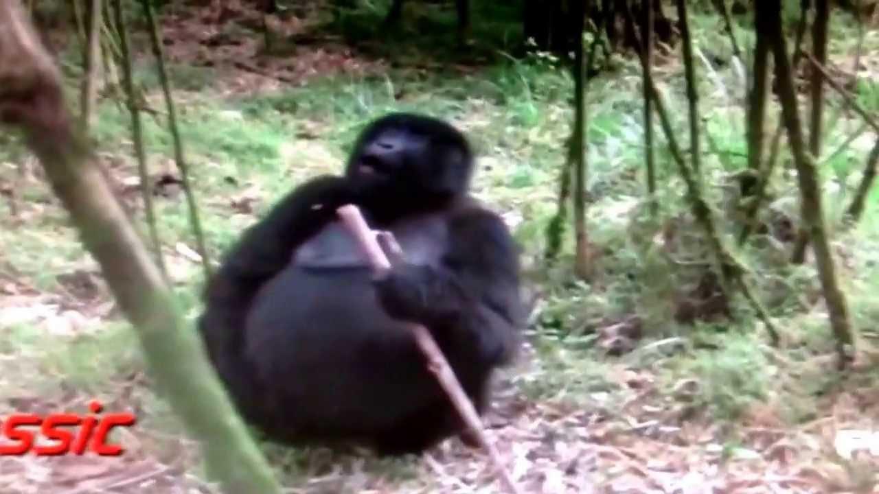 Pics of Fat Monkeys Fat Monkey Fart