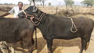 Rajasthani buffalo first bar gaben / राजस्थानी बफेलो को पहली बार ज्ञाबीन करते हुए सांड