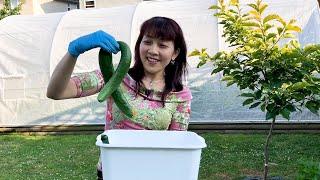 Thu Hoạch Mồng Tơi, Dưa Leo Trái Khủng Thấy Mê 🇨🇦331》 Harvesting Cucumbers and Malabar Spinach