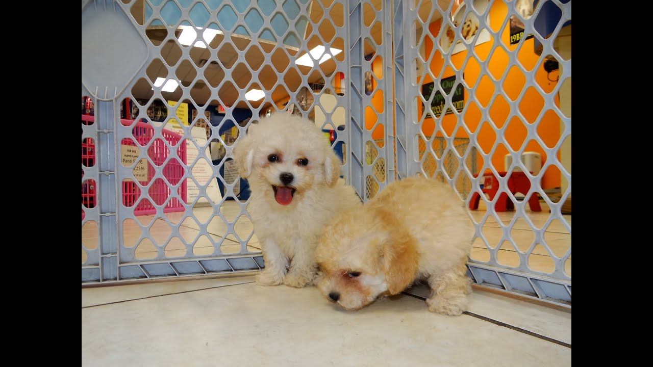 Malti Poo Puppies For Sale In Los Angeles California