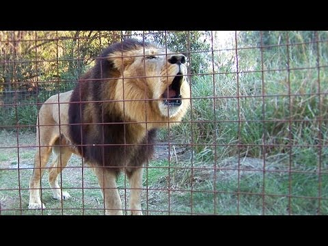 Lion Roaring! Hd - Big Cat Rescue, Tampa Fl video