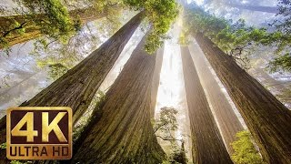 The Tallest Trees on Earth - 4K Nature Documentary Film   Redwood National and State Parks