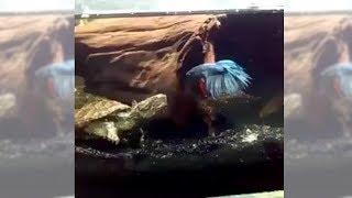 Betta VS Turtle | Fish Tank Review