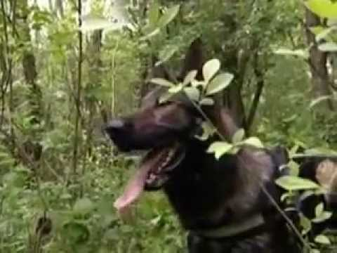 A Royal Canin bemutatja: A német juhászkutya