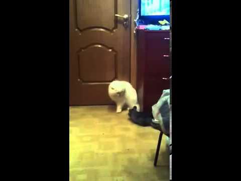 Кот против шиншиллы