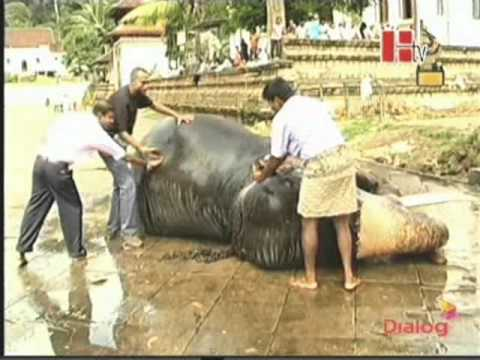 Tame elephant bathing tap water using a hose at Kandy Daladha Temple in Sri Lanka