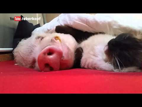 cat petting a pig to sleep
