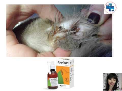 Чем и как почистить коту уши в домашних условиях от