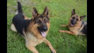 4 Gorgeous RED & BLACK german shepherds~Puppies for sale