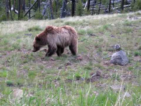 Yellowstone Grizzly Bear gets hazed by rangers