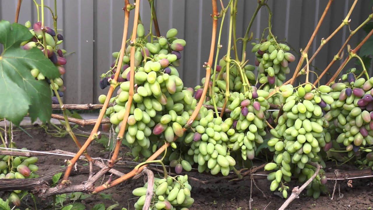 Виноград выращивание в средней полосе 814