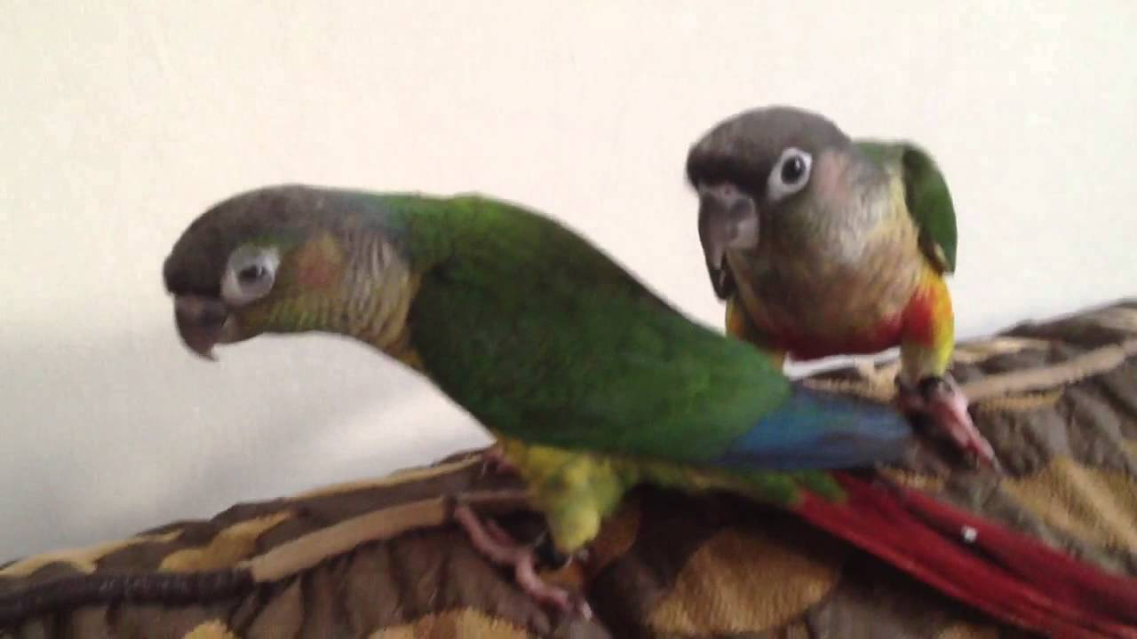 Yellow And Green Parrots Yellow Sided Green Cheek