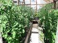 Чем подкормить помидоры в теплице для лучшего завязывания плодов