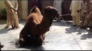 Camel Qurbani 2016    Bakra Eid    Annarri Qasai    Eid-Ul-Adha 2016  