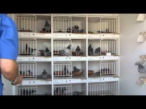 Criacao de pombos correio Joaquim Moura