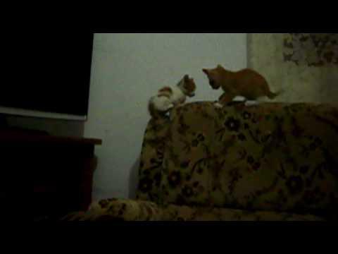gatos juguetones videos