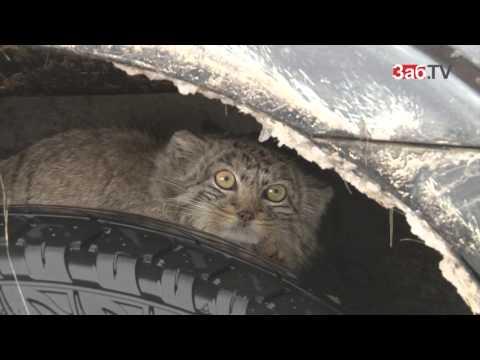 Семь диких котов манулов выпустили на волю в Даурском заповеднике