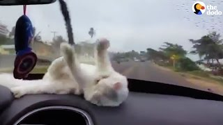 Dashboard Kitten Chases The Windshield Wipers | The Dodo