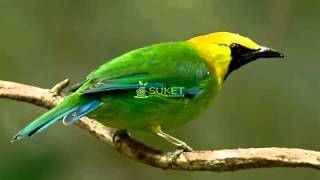 Suara Burung Cucak Rante Masteran Variasi