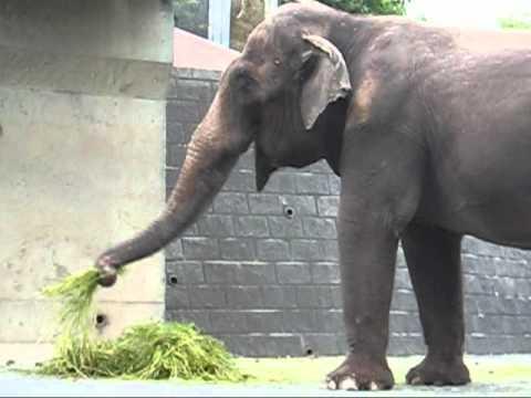 多摩動物公園セイロンゾウ_草だんごを作るアヌーラ