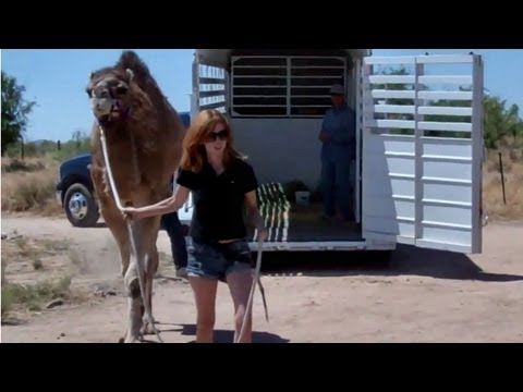 Camel training: Loading into a trailer