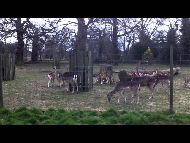 Hươu trong Công viên Hoàng gia Greenwich ở Anh