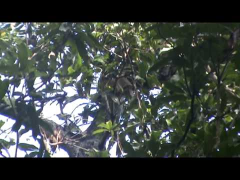Giant Grizzled Squirrel collecting a branch to build its nest Shenbaga Thoppu, Srivilliputtur.MPG