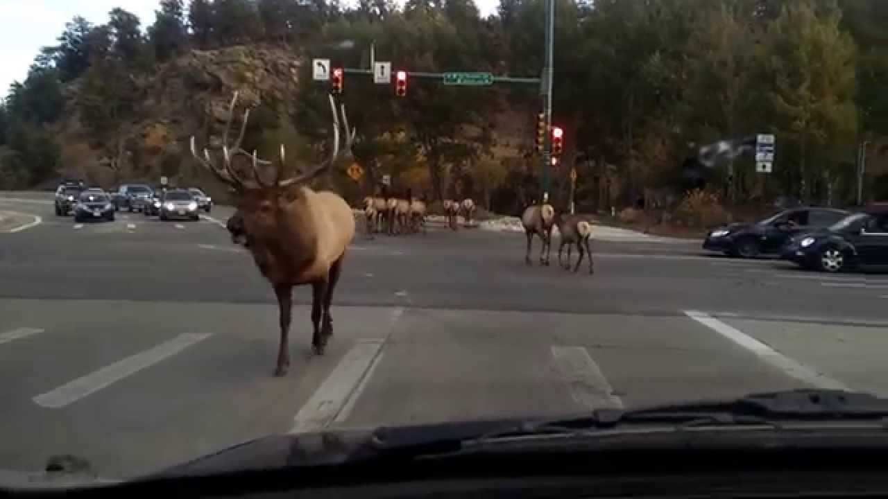 Elk Traffic Jam In Colorado
