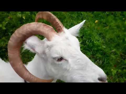 Как определить возраст у козы