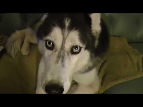 2 DOGS SKYPE - Mishka & Laika