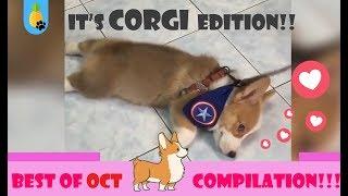 🔴🐕FUNNY CORGI COMPILATION  || Your 2018 Oct cutest CORGI VIDEO ♥!!!