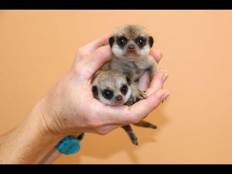 シドニーのタロンガ動物園で7年ぶりに生まれたミーアキャットの子供たち