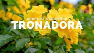 Arbol de San Pedro - Tronadora