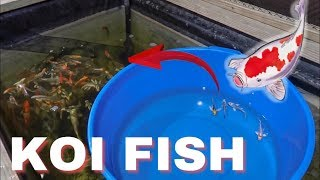 BEAUTIFUL BUTTERFLY KOI FISH for POND! *PURCHA$ED*